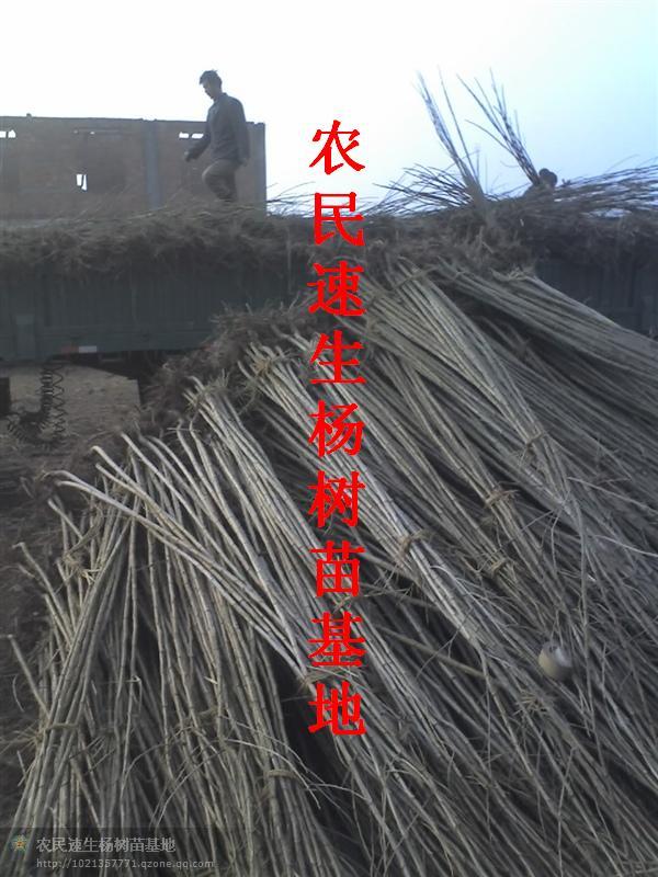 北京杨树苗价格行情、河北杨树苗种植面积