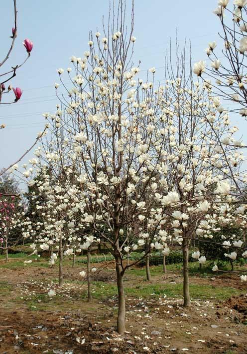 采购花木价格指导、采购苗木价格指南