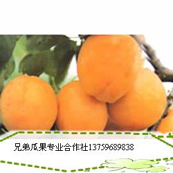 金太阳杏价格、陕西金太阳杏价格、优质金太阳杏价格