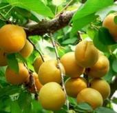 金太阳杏,供应金太阳杏,金太阳杏基地,金太阳杏批发。