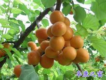 陕西金太阳杏价格,金太阳杏价格。