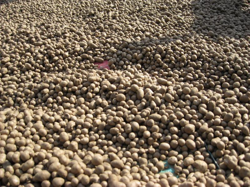 昌乐县金诚合作社提供供应批发各种规格山药豆产地直销价格便宜