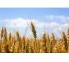 湖北正虹求购大小麦、玉米、大豆、高梁等