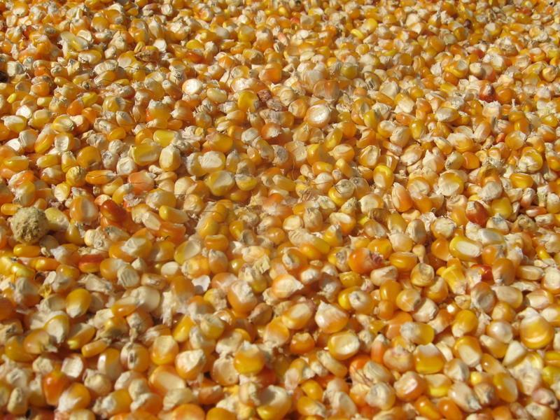 大量求购玉米,小麦,大豆,高粱