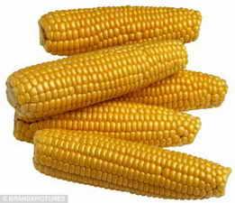 天惠养殖现金收购玉米小麦大豆高粱