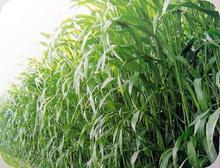 高丹草种子绿化苗木种子