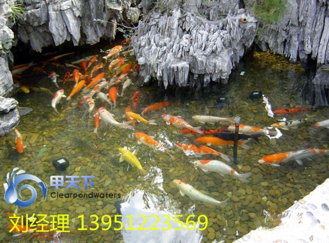 南京户外锦鲤鱼池水发绿怎么办?