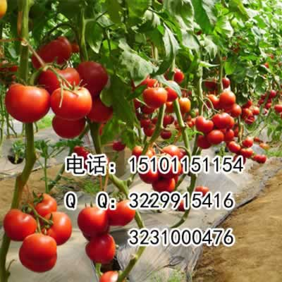 精品番茄种子&精品番茄种子价格&大番茄种子