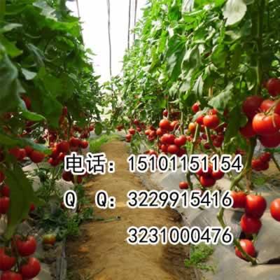 高产番茄种子&高产番茄种子价格&大番茄种子