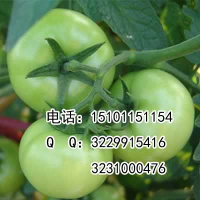 进口大粉果番茄种子|荷兰大果番茄种子