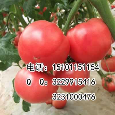高产荷兰番茄种子;进口番茄种子高产;高产番茄种子价格