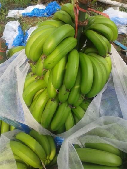 广东遂溪香蕉种植基地 特产优质香蕉