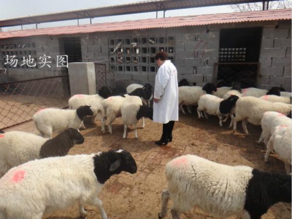 亳州市黑头杜泊绵羊价格