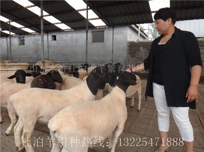锡林郭勒盟杜泊羊市场价格