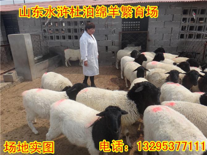 云南省杜泊羊孕羊价格